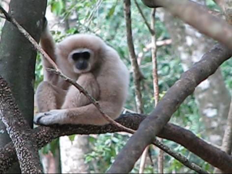 gibbon-2